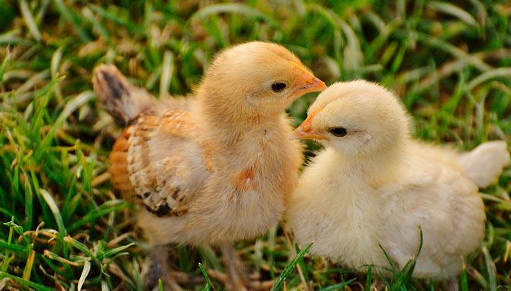 Fede kyllinger og store dicks