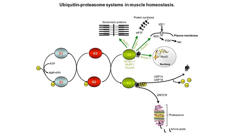 ubiquitin-proteasome pathway model