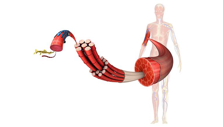 kroppens mindste muskel
